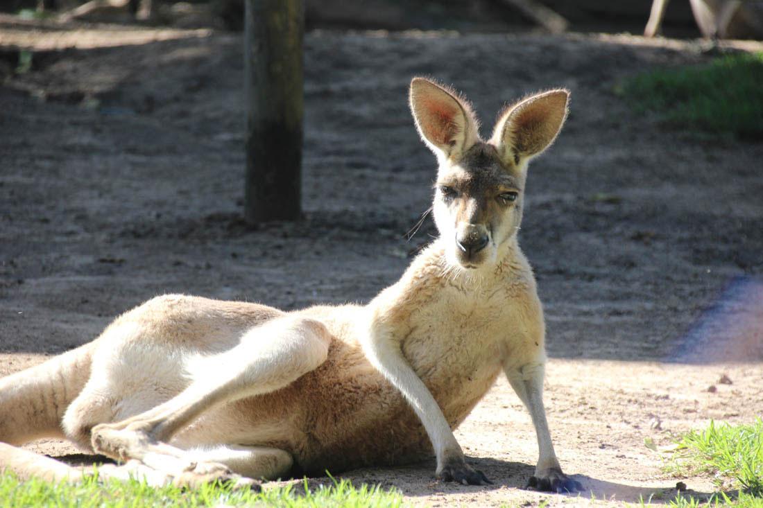 Wildlife HQ kangaroo area