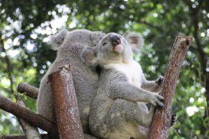 Wildlife HQ koalas 2