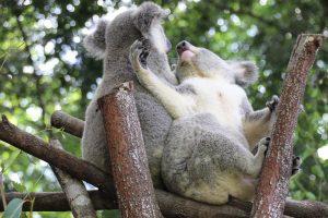 Wildlife HQ koalas