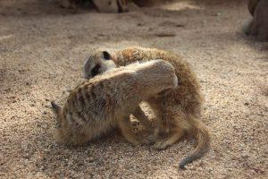 Wildlife HQ meerkats