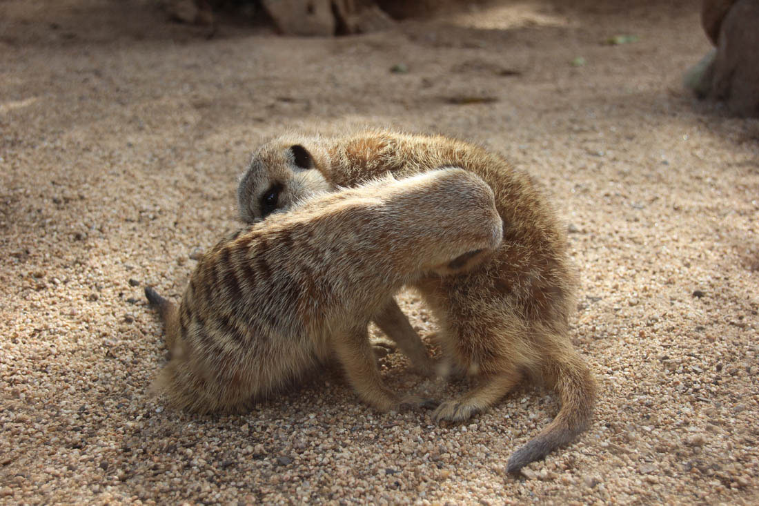 Wildlife HQ meerkats