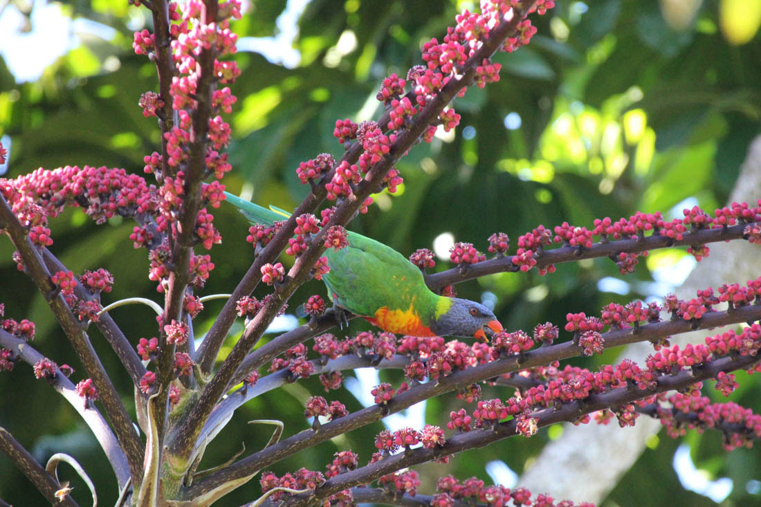 Wildlife HQ rainbow lorikeet wild