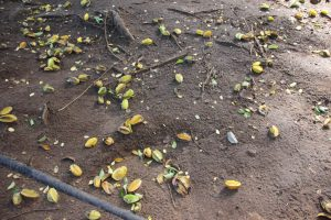 Wildlife HQ starfruit on the ground