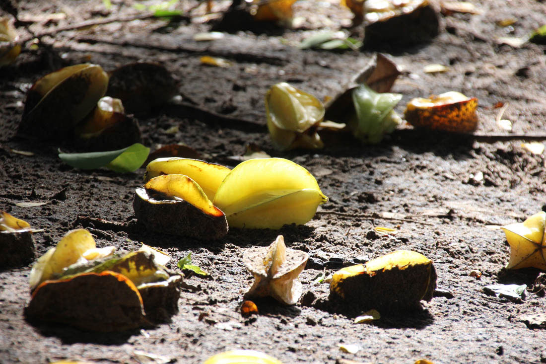 Wildlife HQ starfruit on the ground
