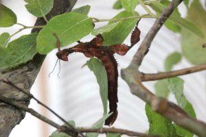 big brown leaf eating mantis