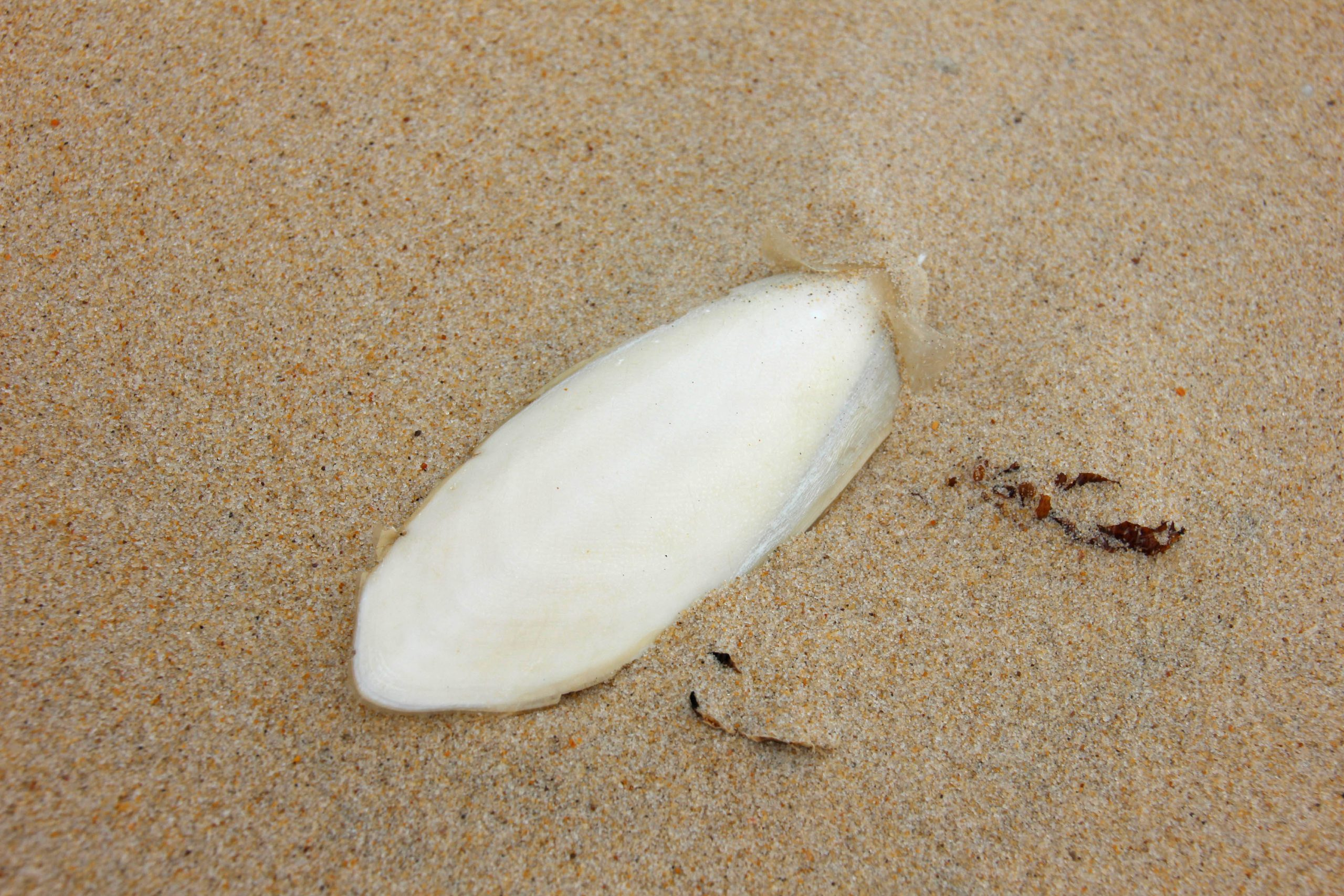 cuttlefish bone on Coolum beach