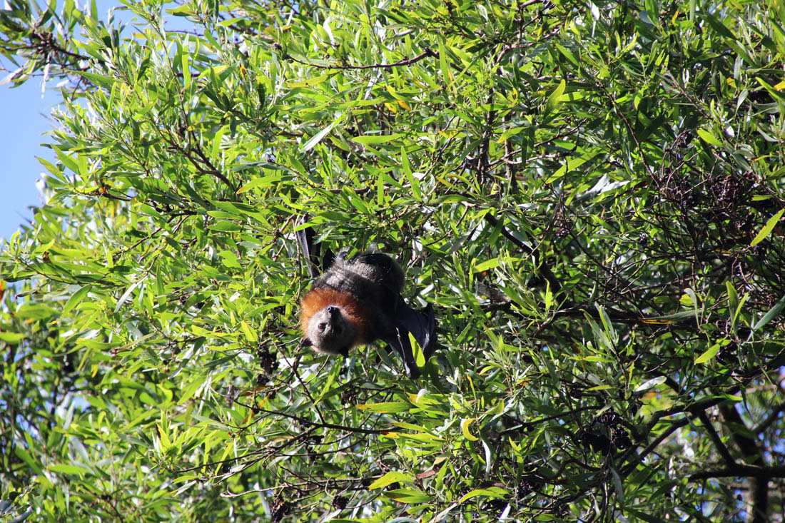 flying fox Maleny in tree