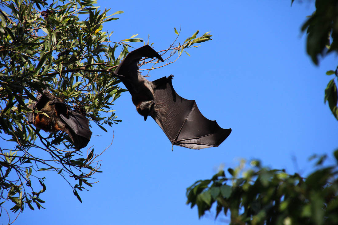 flying fox Maleny