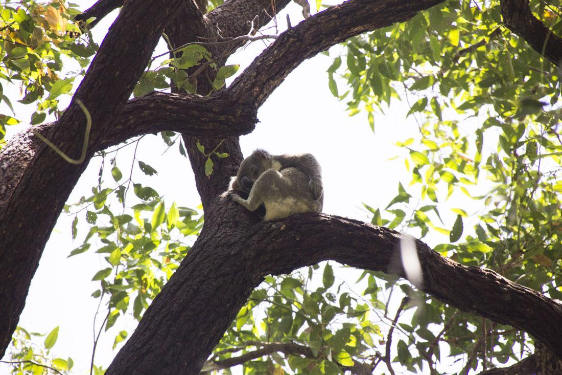 koala butt scratch tea tree bay noosa