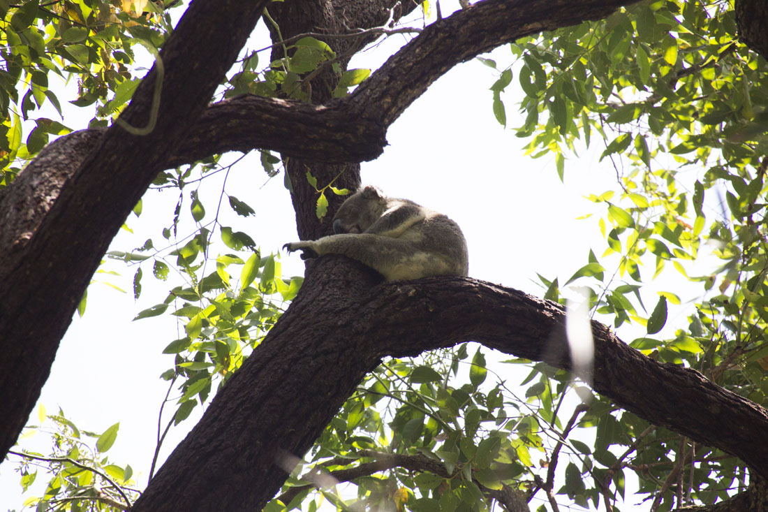 koala stretched leg tea tree bay noosa
