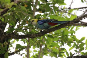 pale headed rosella sunshine coast
