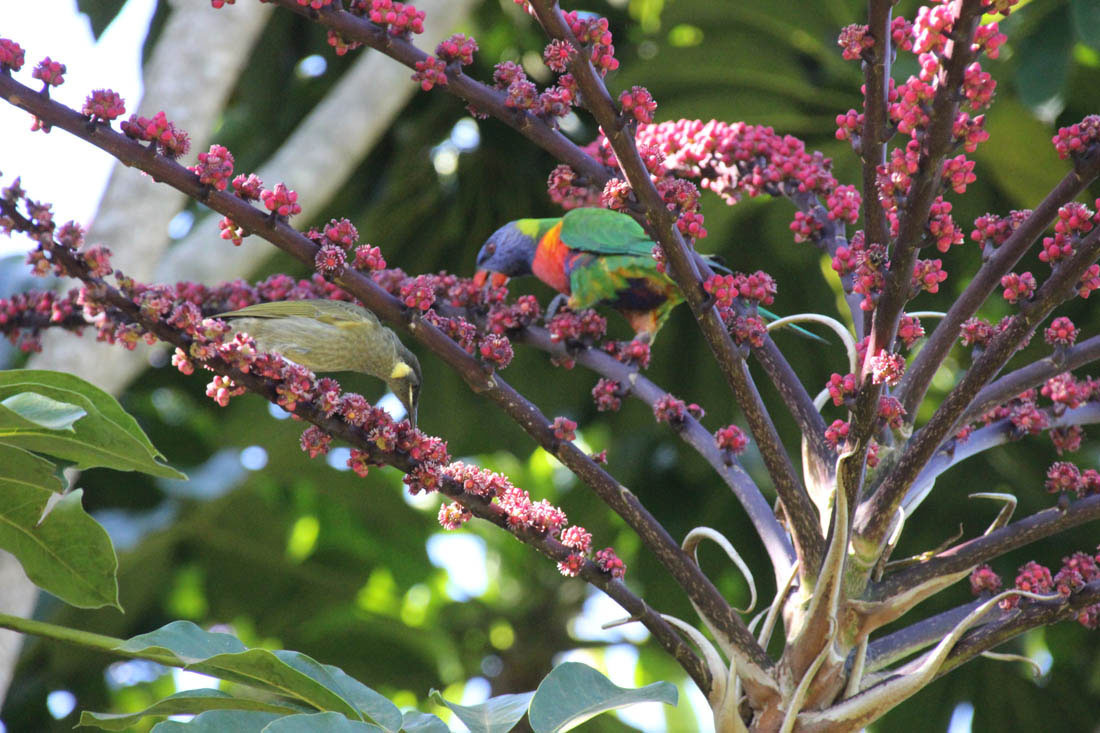 rainbow lorikeets eating fro palm tree