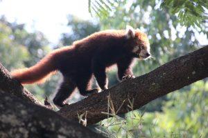 red panda Wildlife HQ