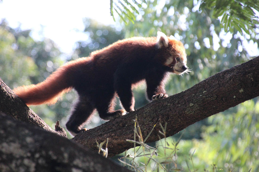 red panda Wildlife HQ