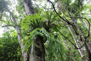 staghorn fern Mary Caincross