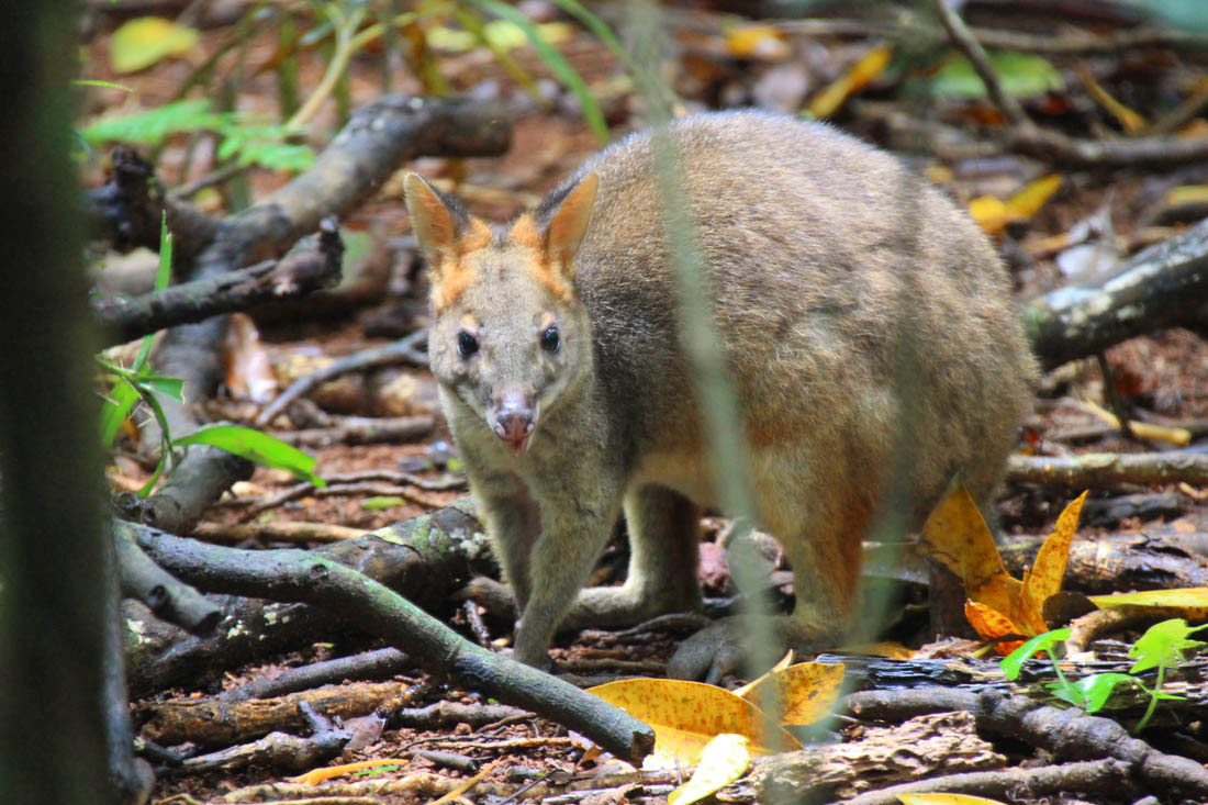 wallaby in Mary Cairncross