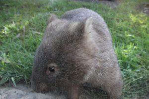 wombat Wildlife HQ
