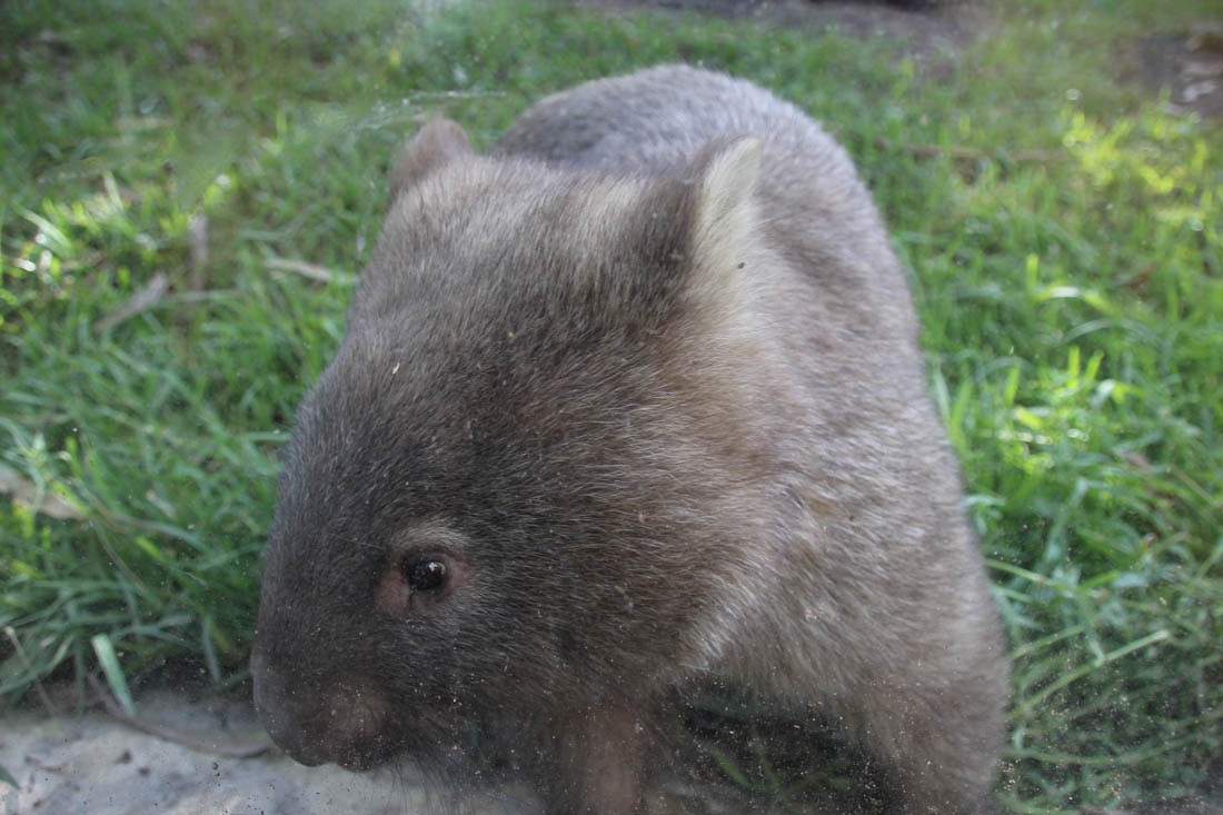 wombat Wildlife HQ