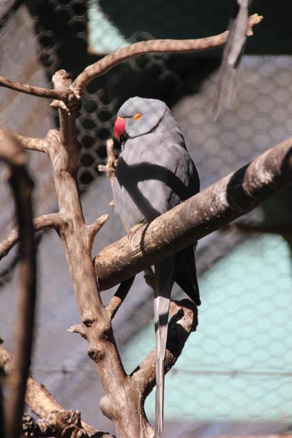 Dannevirke Domain aviary grey bird