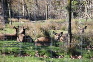 Dannevirke Domain red deer park
