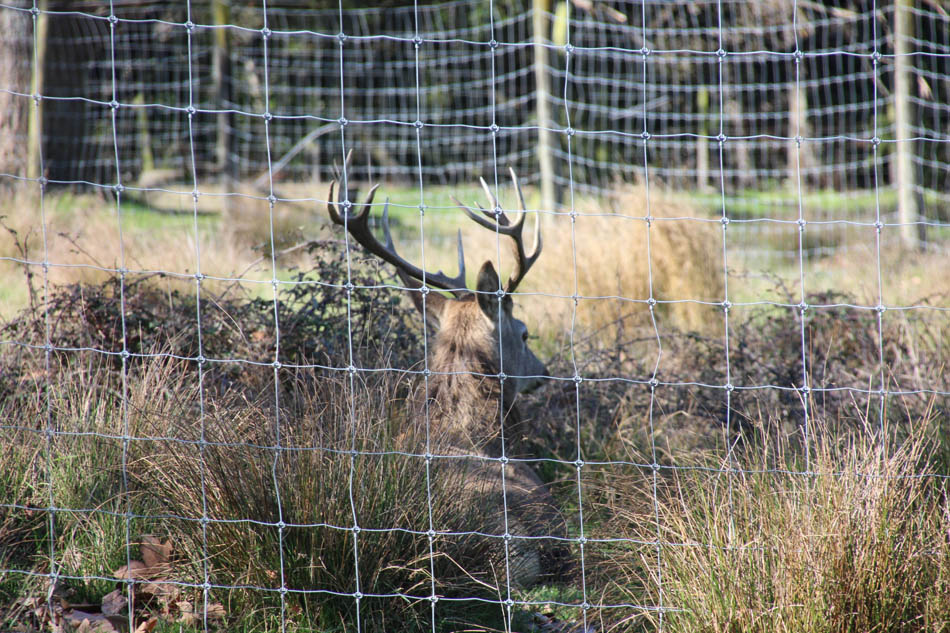 Dannevirke Domain red deer