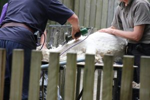 Brooklands zoo shaving alpaca