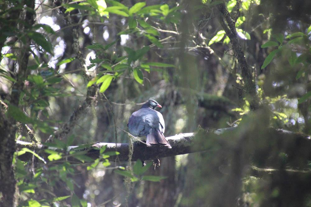 Kereru Wood Pigeon